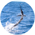 An image of a sailfish jumping.
