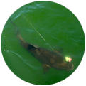 An image of a redfish swimming near the surface.