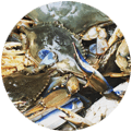 An image of chesapeake bay crabs on a tidewater fishing charter
